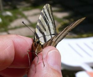 butterfly-14870_640
